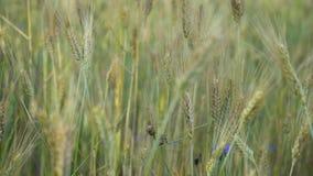 Bleuets bleus de fleurs balançant dans le vent parmi l'herbe et les oreilles du blé un jour ensoleillé d'été banque de vidéos