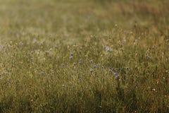 Bleuets bleus de fleurs ?t? Champ avec des fleurs photo stock