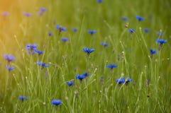 Bleuets bleus de wildflowers dans le domaine au lever de soleil Photographie stock libre de droits