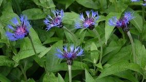 Bleuets de Wildflowers dans le vent Centaurea Montana banque de vidéos