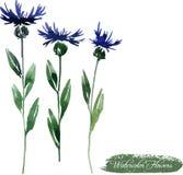 Bleuets dessinant par l'aquarelle Photo libre de droits