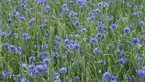 Bleuets en jeunes champ et vent de blé verts banque de vidéos