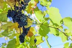 Bleurebtraube auf Weinstock mit einigem verlässt in einer styrian Rebe Stockfoto