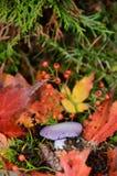 Blewit-Pilz unter buntem Herbstlaub Stockbild