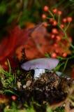 Blewit-Pilze silhouettiert gegen rotes Blatt und rote Hagebutten Lizenzfreies Stockfoto