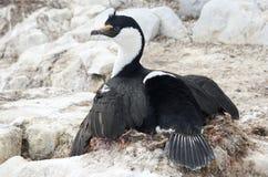 Blåögt cormorantsammanträde för Antarctic på bygga bo. Arkivfoton