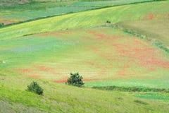 Blühen in Castelluccio Lizenzfreie Stockfotos
