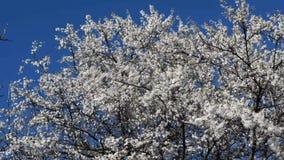 Blühen einer Kirschpflaume stock footage
