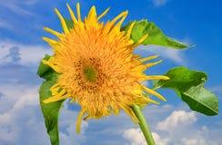 Blühen Sie dekorative Sonnenblumen des Bildes auf einem Hintergrund des blauen Himmels Lizenzfreies Stockbild