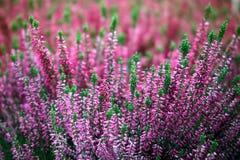 Blühen von Heideblumen Stockfoto