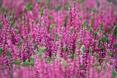 Blühen von Heideblumen Lizenzfreie Stockfotos