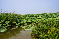 Blühende Algen durch Lotosteich im sonnigen Sommer Lizenzfreies Stockfoto