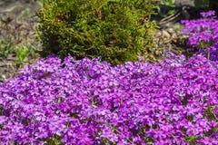 Blühende Büsche auf dem Datscha Flammenblume subulate Stockbilder