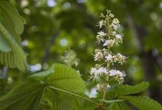 Blühende Kastanienbaumniederlassung auf einem Hintergrund des Grüns Stockfotografie