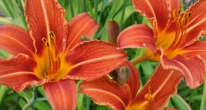 Blühende Lilien Lizenzfreies Stockbild