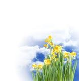 Blühende Narzissen Stockfotografie