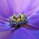 Blühende purpurrote Anemone Stockfoto