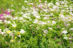 Blühende Wiese mit Achillea und anderen Blumen Stockfotografie