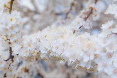Blühender Brunch der Kirschpflaume mit Blumen im schönen Licht Lizenzfreie Stockfotos
