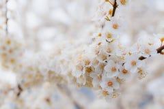 Blühender Brunch der Kirschpflaume mit Blumen im schönen Licht Lizenzfreie Stockfotografie