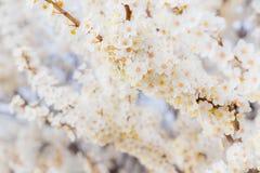Blühender Brunch der Kirschpflaume mit Blumen im schönen Licht Lizenzfreies Stockfoto