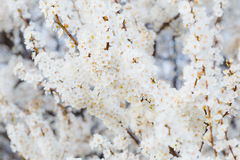 Blühender Brunch der Kirschpflaume mit Blumen im schönen Licht Stockfoto
