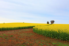 Blühender Canola fängt Bauernhof auf Stockbild