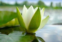 Blühender See der weißen Lilie auf dem Hintergrund von grünen Blättern Lizenzfreie Stockfotografie