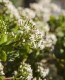 Blühendes Crassula ovata, Geldbaum Stockfotografie