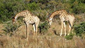 Bliźniacze żyrafy Fotografia Stock