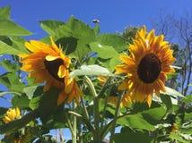 Bliźniaczy słoneczniki obraz stock