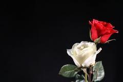 Bliźniak różnicy różany kolor Fotografia Royalty Free