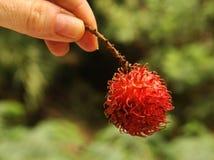 Bliźniarki jagody owocowy zakończenie w górę fotografii w ludzkiej ręce Obraz Royalty Free