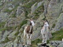 Bliźniacze kózki w górach Zdjęcia Stock