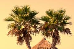 Bliźniacze palmy przy zmierzchem Obrazy Stock