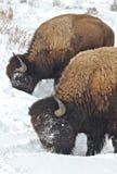 Bliźniaczy bizon Obraz Royalty Free