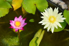 Bliźniaczy lotos w gliny wody basenie Obraz Royalty Free