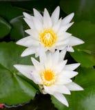 bliźniaczy lotosowy kwiat Obraz Royalty Free