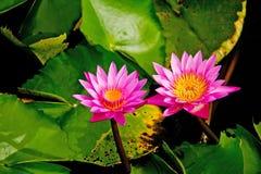 Bliźniaczy Lotus Fotografia Royalty Free
