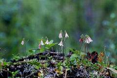bliźniak kwiatów Zdjęcia Royalty Free