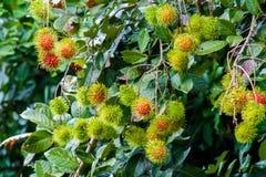 Bliźniarka Tropikalna owoc Fotografia Stock