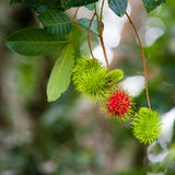 Bliźniarka Tropikalna owoc Zdjęcie Stock