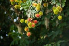 Bliźniarka Tropikalna owoc Obraz Royalty Free