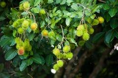 Bliźniarka Tropikalna owoc Zdjęcia Stock