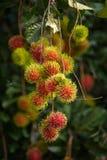 Bliźniarka Tropikalna owoc Fotografia Royalty Free
