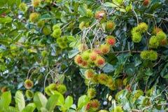 Bliźniarka Tropikalna owoc Zdjęcia Royalty Free