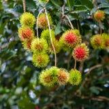 Bliźniarka Tropikalna owoc Obrazy Stock