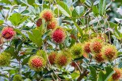 Bliźniarka Tropikalna owoc Obrazy Royalty Free