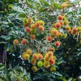 Bliźniarka Tropikalna owoc Zdjęcie Royalty Free