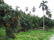 Bliźniarki i mangostanu drzewa Fotografia Stock